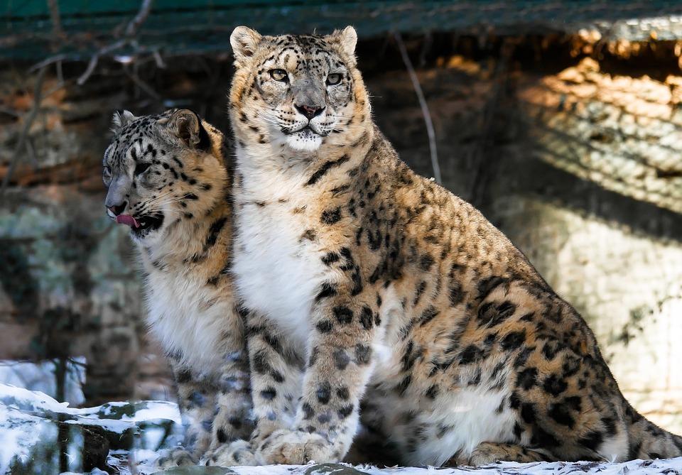Leopards, Snow Leopardss, Wild Cats, Pair, Big Cats