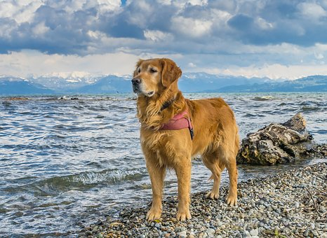 Dog, Lake Constance, Golden Retriever