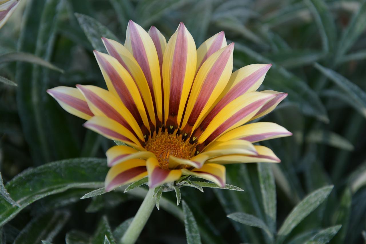 газания цветок картинки всей души