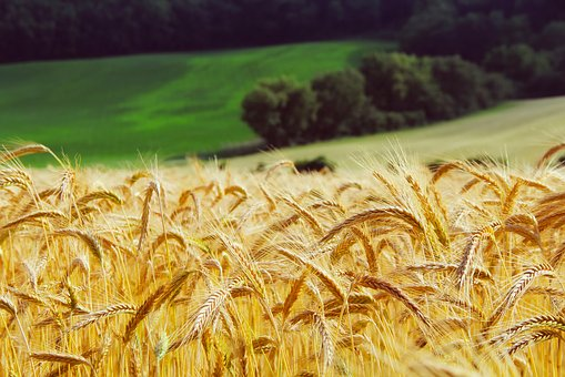 Wheat, Summer, Landscape, Hills, Trees