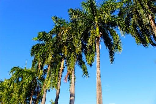 Palm Trees, Coconut Palm, Palm, Coconut
