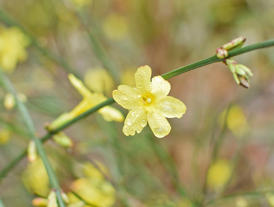 Rain Wet Winter Jasmine Rain Wet Flower Ornamental