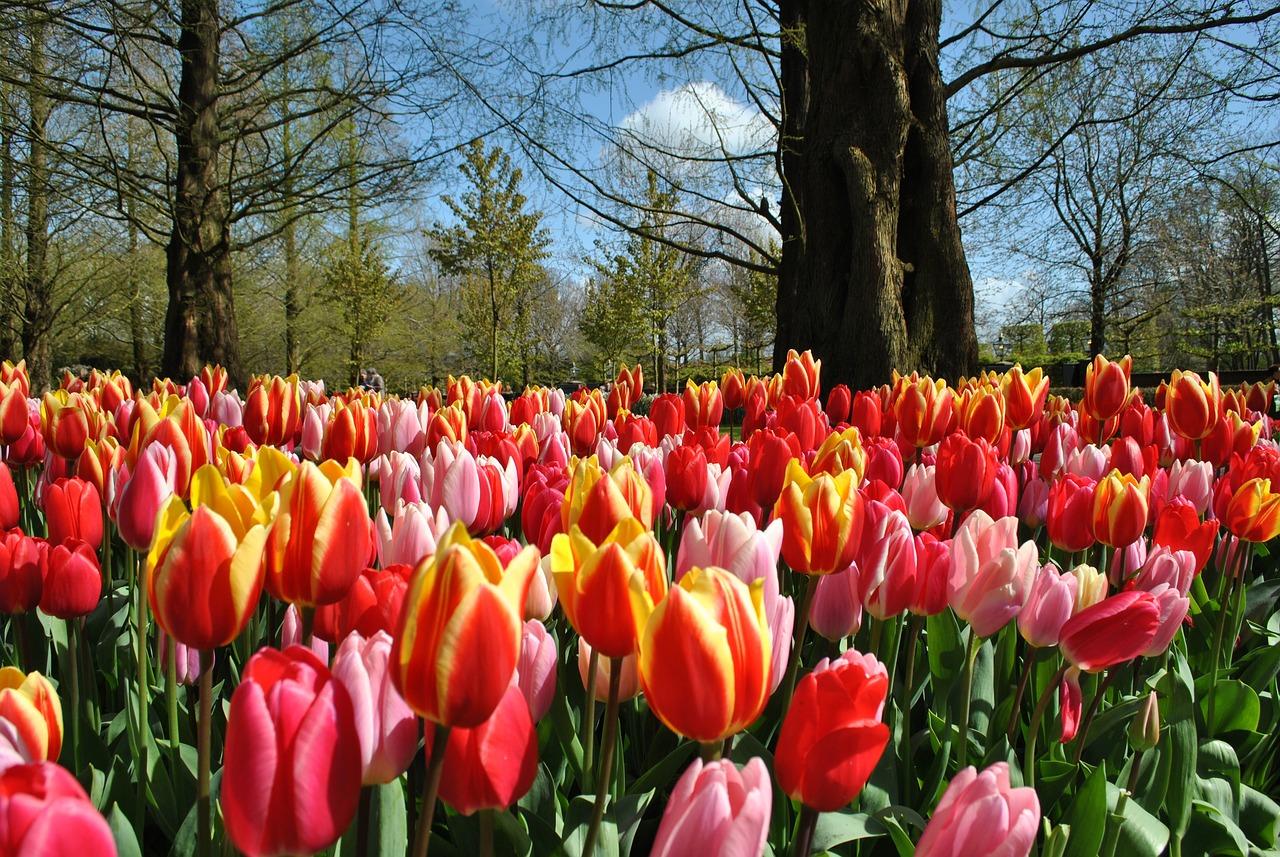 весна тюльпаны фото никому