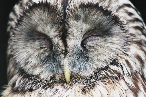 フクロウ, 鳥, 眠る, くちばし, フロントディスク, Krupnyj プラン