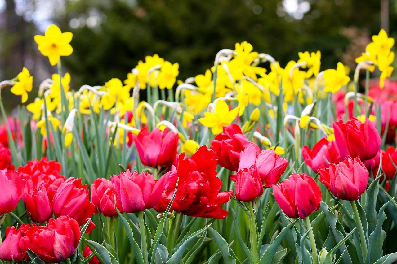 Тюльпаны полевые картинки
