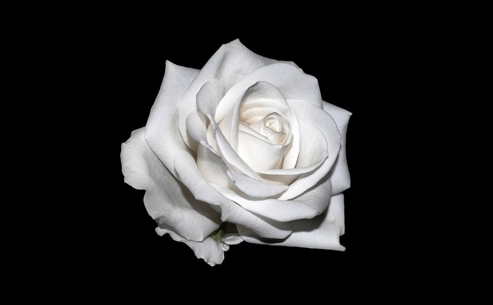 Rose White Background · Free Photo On Pixabay