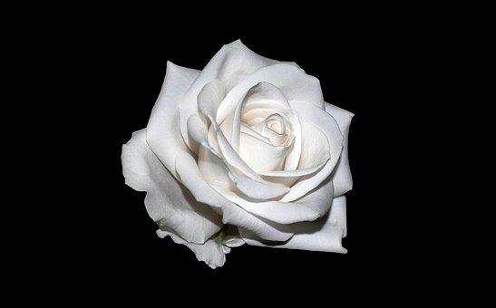 White Roses Images Pixabay Download Free Pictures