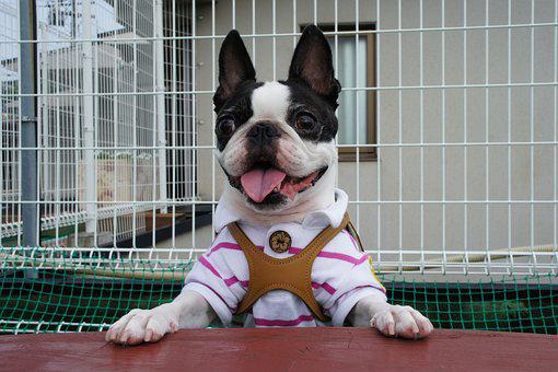 Boston Terrier, Pet, Dog, Dog Run