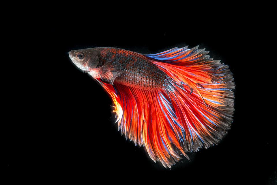 Fighting Fish Three Color · Free photo on Pixabay