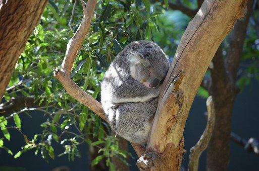 Koala, Marsupial, Animal, Cute