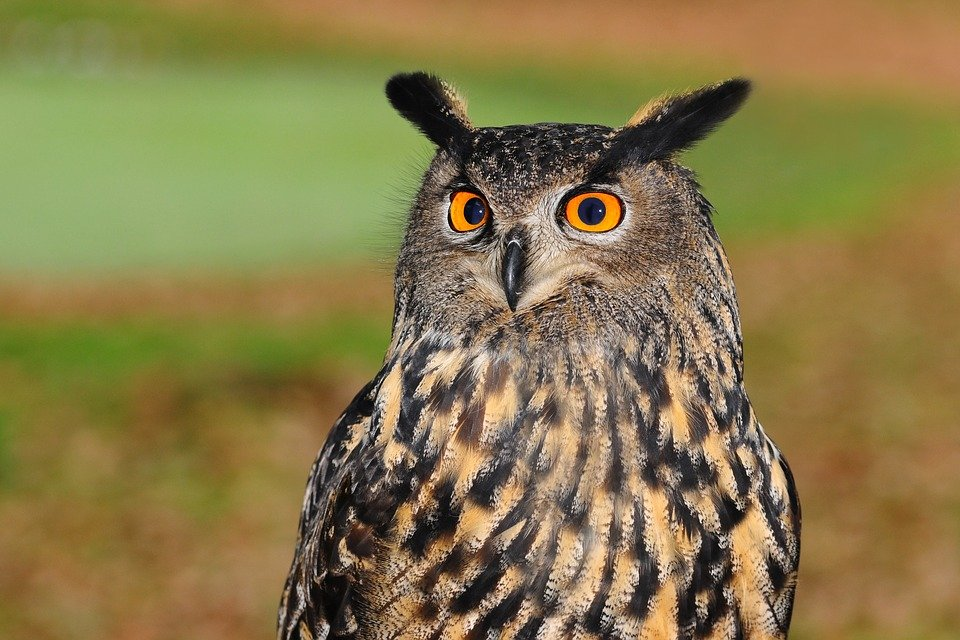 European Eagle Owl Bird Of Prey