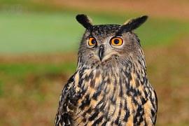 European Eagle Owl, Owl