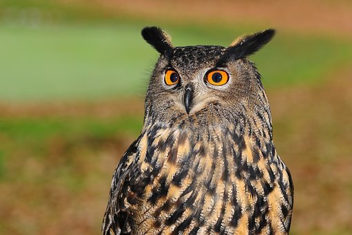 European Eagle Owl, Owl, Bird Of Prey