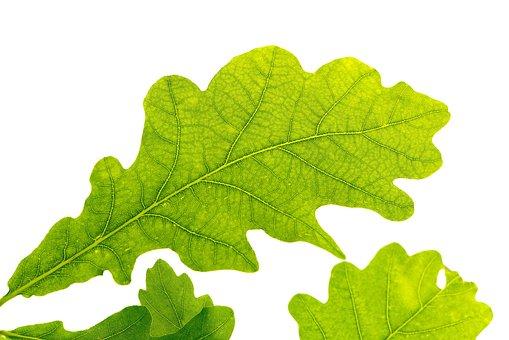 Oak Leaf, Green, Tree Leaf, Green Leaf