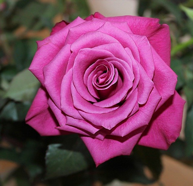 essay on flower rose free essays on autobiography of rose flower through