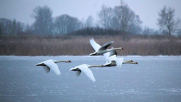 Winter, See, Zugefroren, Schwäne