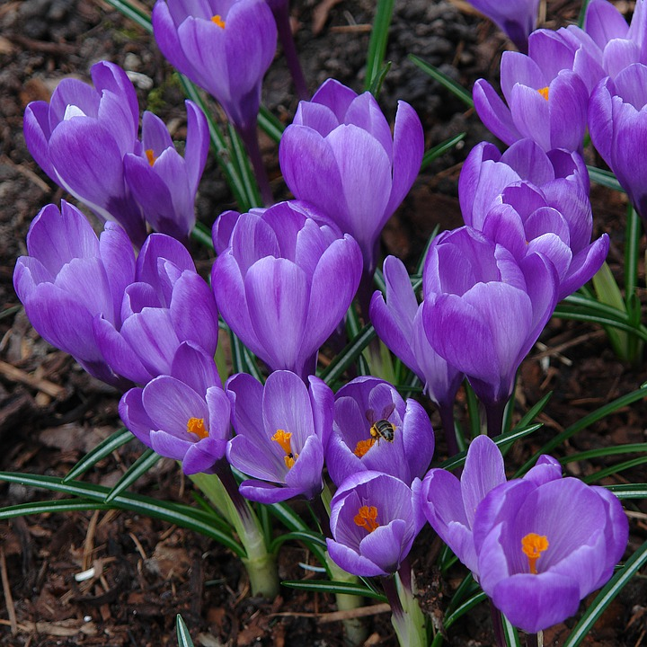 crocus plant garden purple color petal