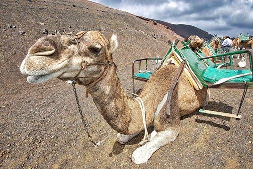 Camels, Caravan, Desert, Sand, Animal