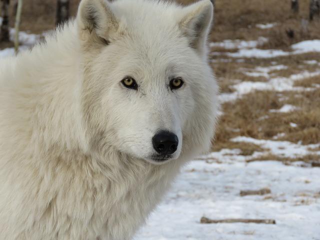 arctic wolfdog wolf 183 free photo on pixabay