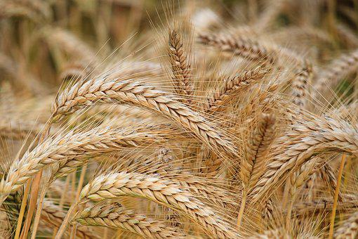 barley field images pixabay download free pictures