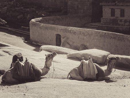Camel, Egypt, Africa, Dromedary, Animal