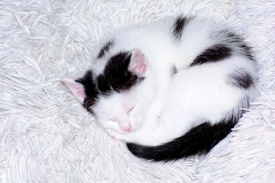 Baby Cat Kitten Free Photo On Pixabay