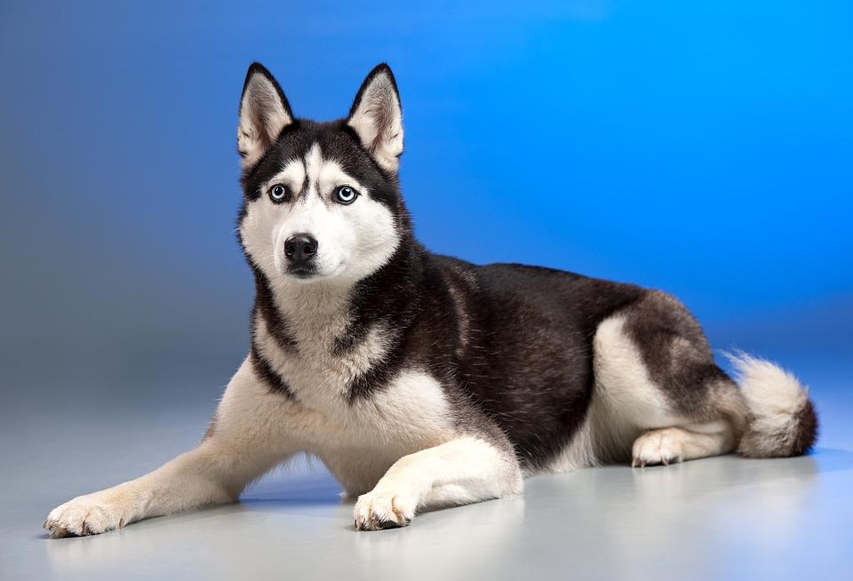 Собака Хаски Ездовая · Бесплатное фото на Pixabay Милый Щенок Хаски