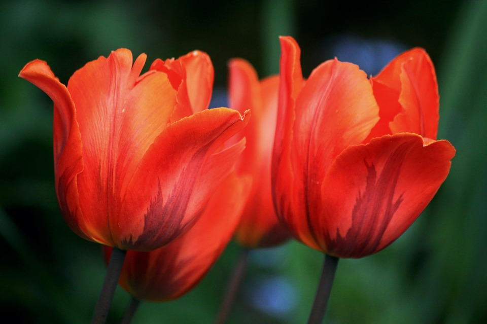 free photo tulips, flowers, spring, nature  free image on, Natural flower