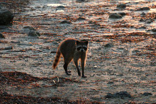Raccoon, Beach, Wildlife, Nature, Animal