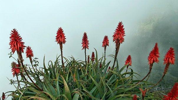 Flower, Aloevera, Red, Nature