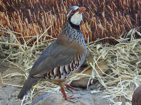 Partridge, Ave, Bird, Wild, Nature