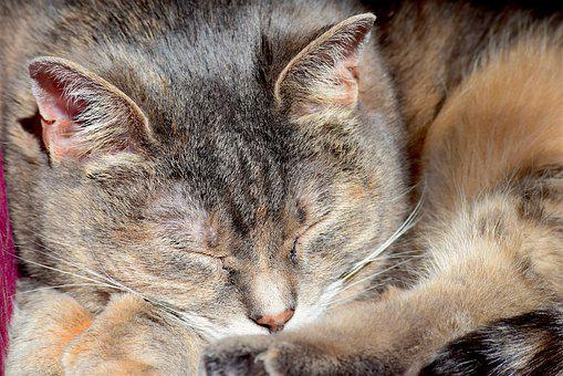 Sleeping Cat, Portrait, Cat, Animal, Pet