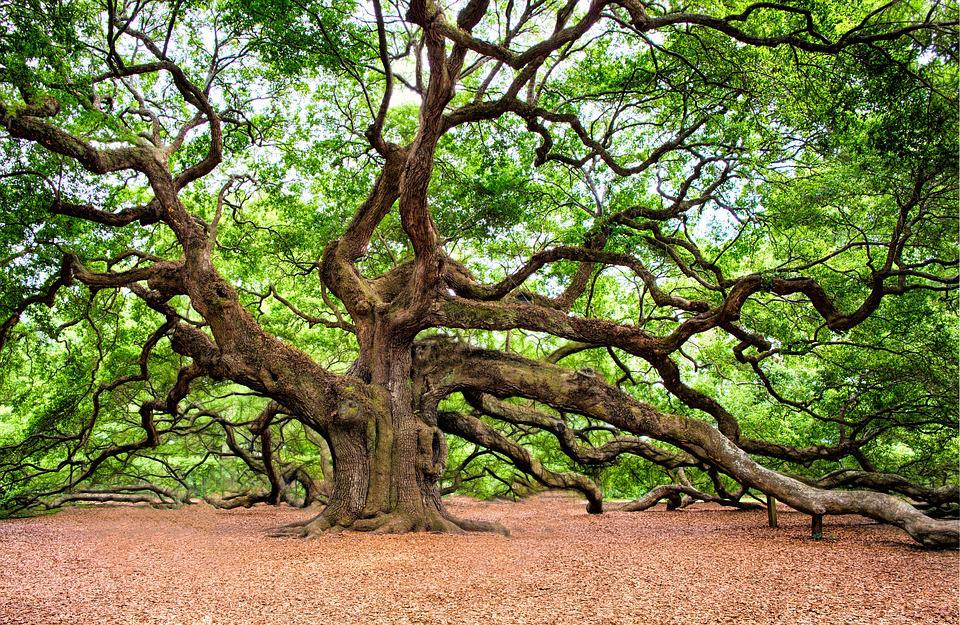 Árbol De Roble, Árbol, Enorme, Antigua, Charleston