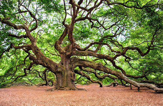 Eiche, Baum, Riesige, Alte, Charleston