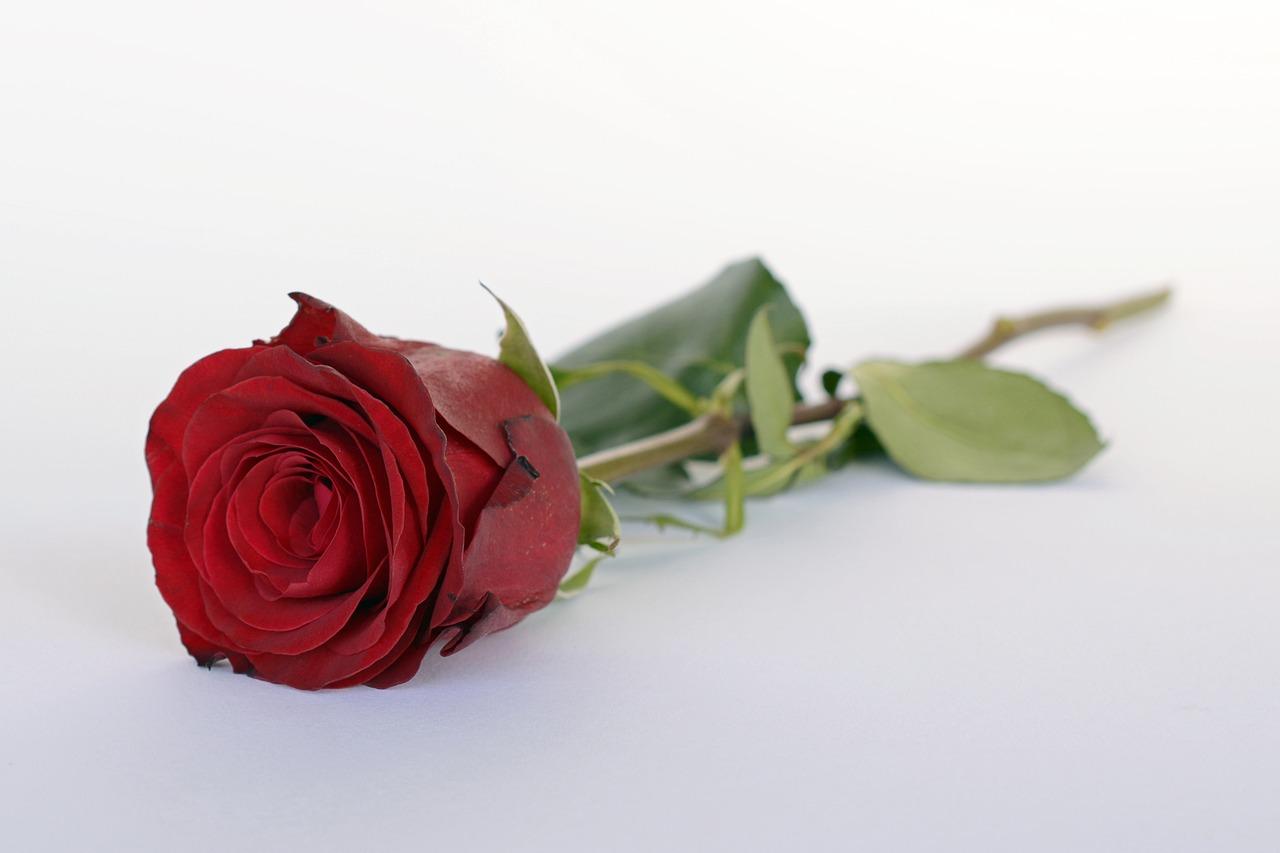фото одной красной розы на белом фоне интенсивные проявления