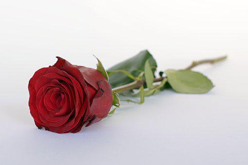 Rose, Red, Rose Flower, Romance,Know more about the days leading up to Valentine's day like Rose Day, Chocolate day and Anti-Valentine's day like break up day, slap day and more.