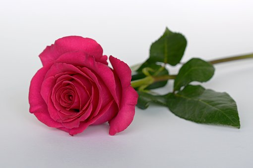Rose, Pink, Rose Flower, Romance, Love,Know more about the days leading up to Valentine's day like Rose Day, Chocolate day and Anti-Valentine's day like break up day, slap day and more.