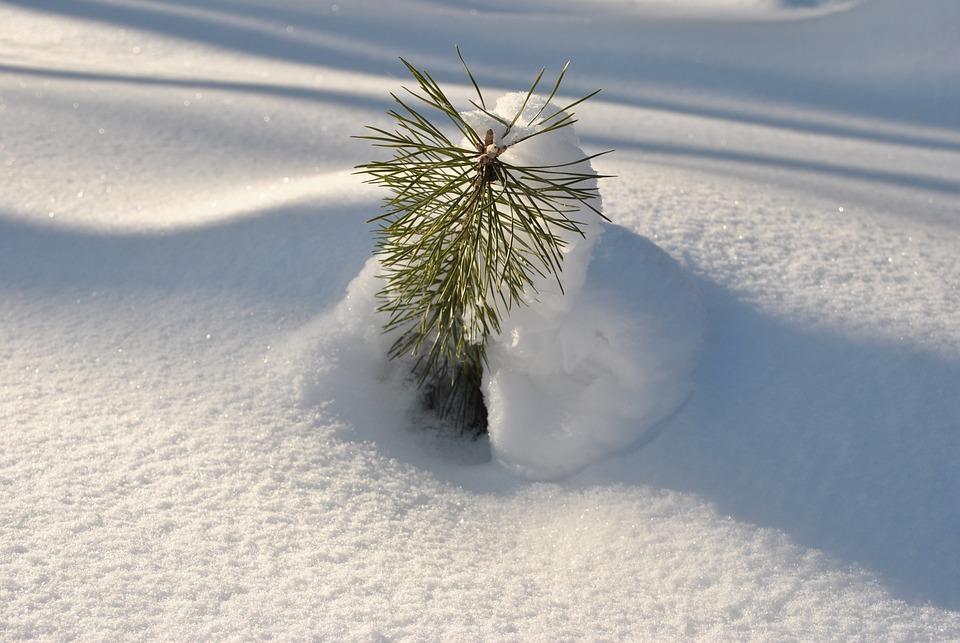 Schnee, Sun, Junge Fichte, Schneeverwehung