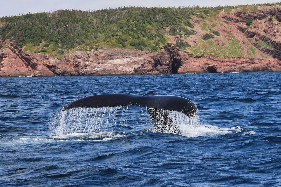 beautiful whale on the beach of newfoundland