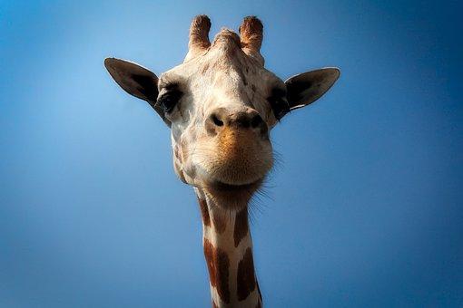 Girafe Images Pixabay Telechargez Des Images Gratuites