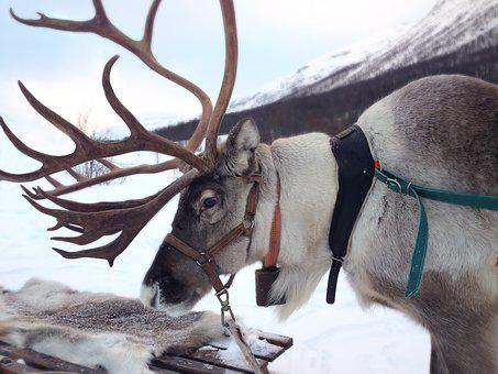 Reindeer, Norway, Snow, Sami, Mammal