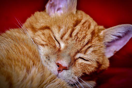 Cat, Sleeping, Cute, Animal, Pet, Kitten