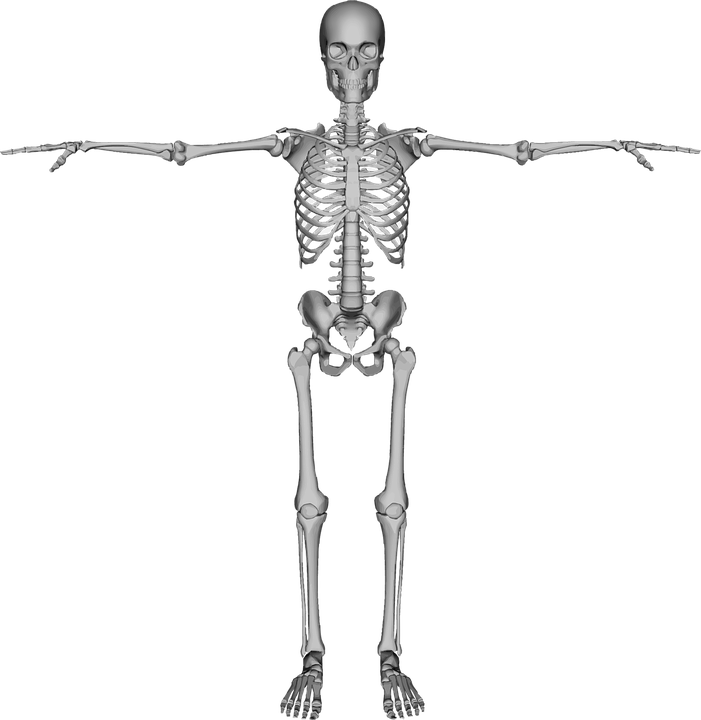 human, skeleton - free images on pixabay, Human body