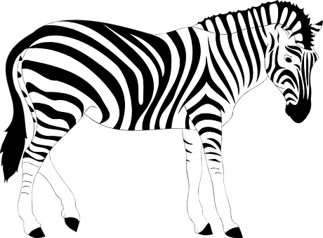 Africa animal striped stripes wild zebra z