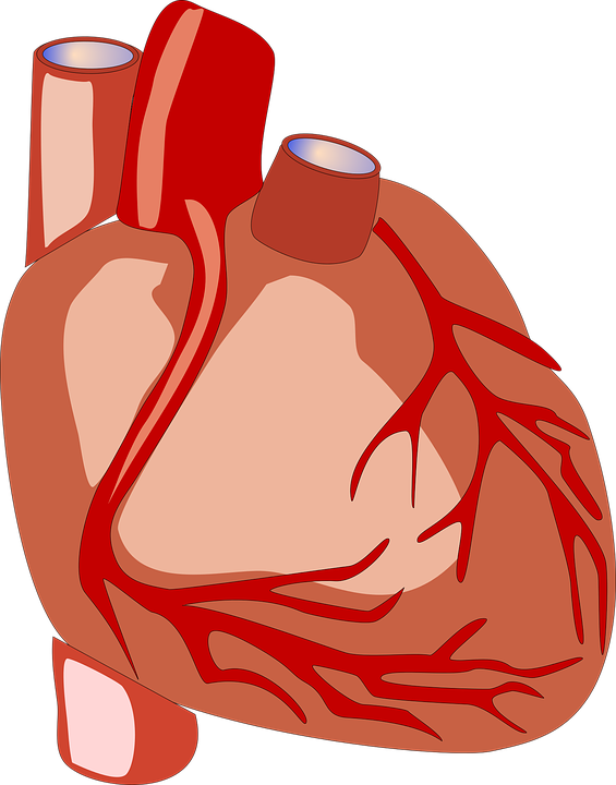 Heart Human Anatomy Free Vector Graphic On Pixabay