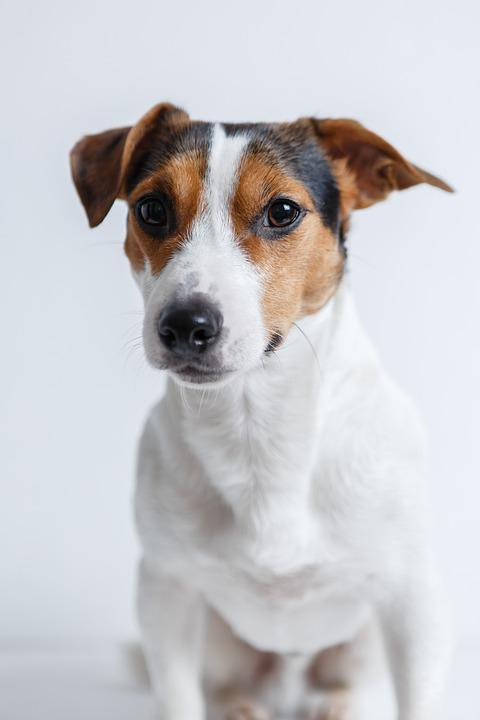 dog jack russell terrier free photo on pixabay