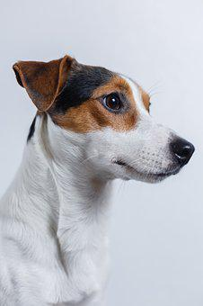 Dog, Jack Russell, Terrier, Puppy, Pet