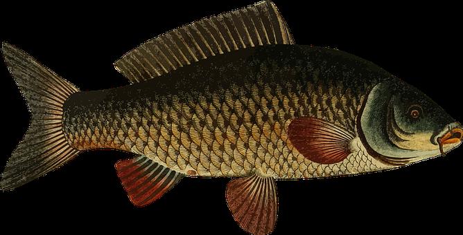 Ikan Mas Gambar Vektor Pixabay Unduh Gambar Gratis