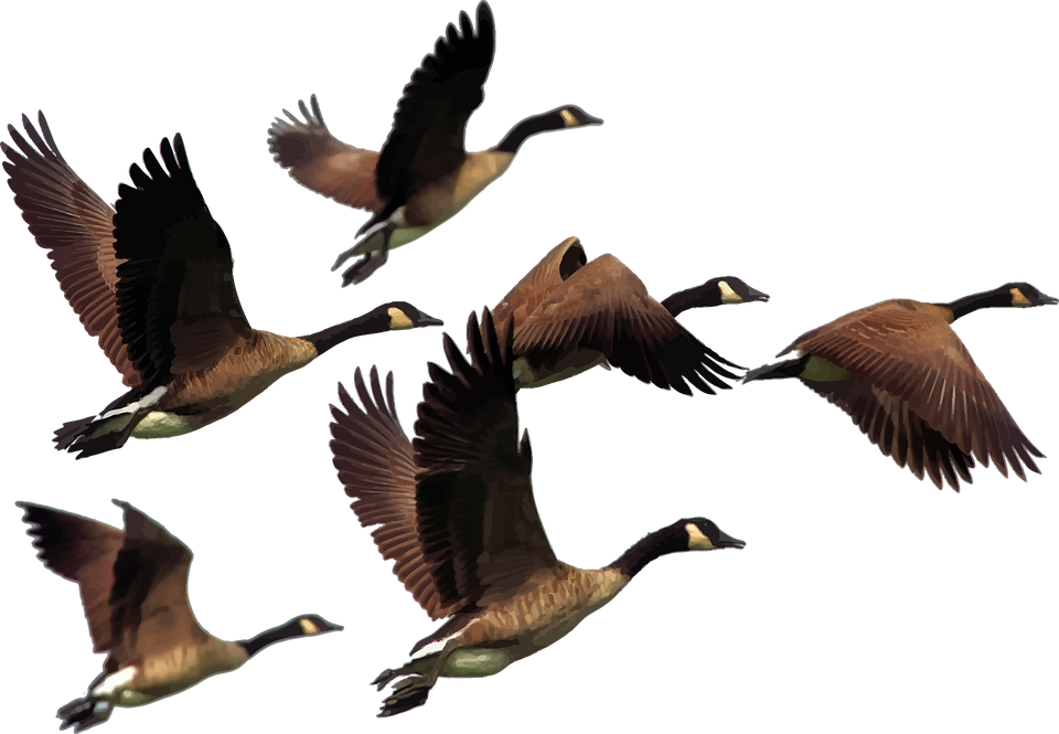 animals birds flying  u00b7 free vector graphic on pixabay geese clip art pictures goose clip art free
