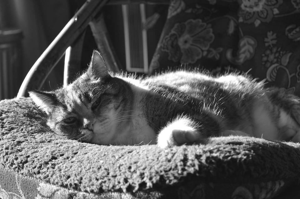 Cat, Kitty, Noir Et Blanc, Domestiqué, Des Animaux